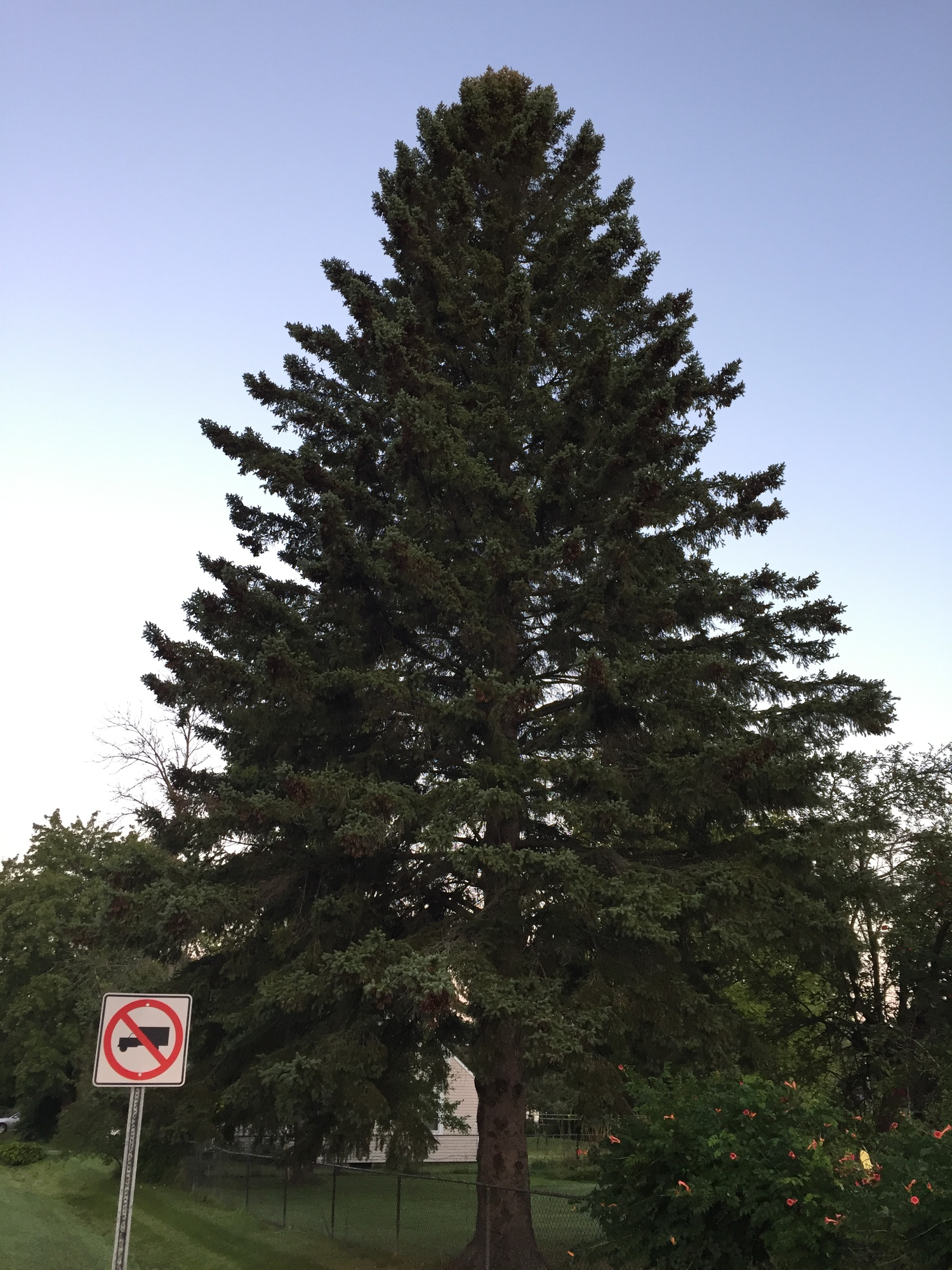 State's Official Christmas Tree Not Coming From U.P.