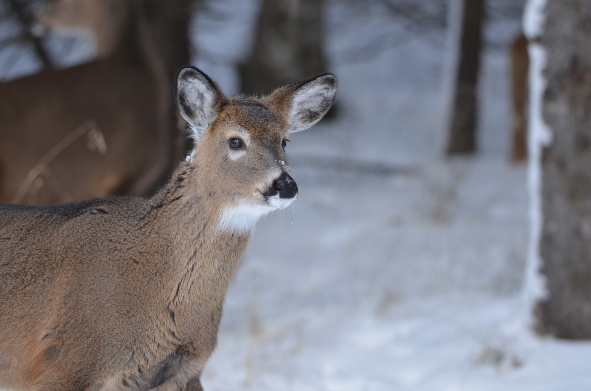 U.P. Deer Tests Positive For Chronic Wasting Disease