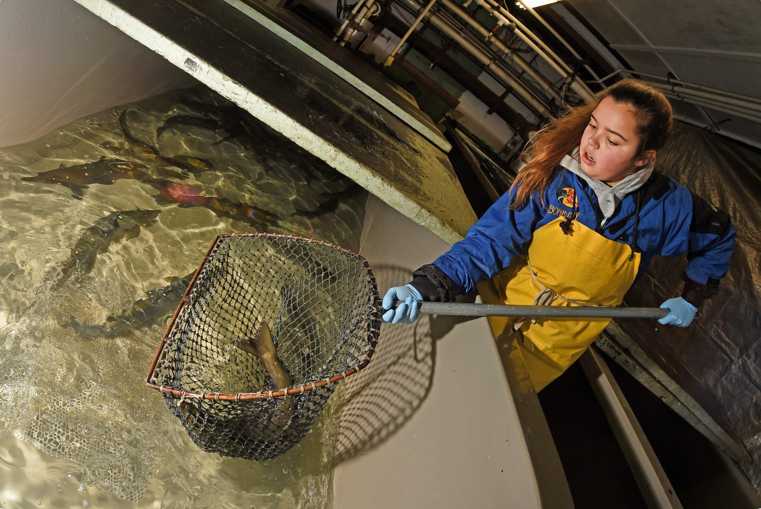LSSU Student Gathers Salmon At Fish Hatchery