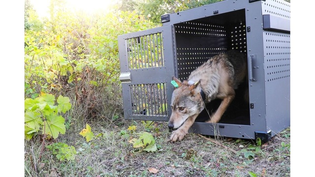 Re-Located Grey Wolf Dies On Isle Royale