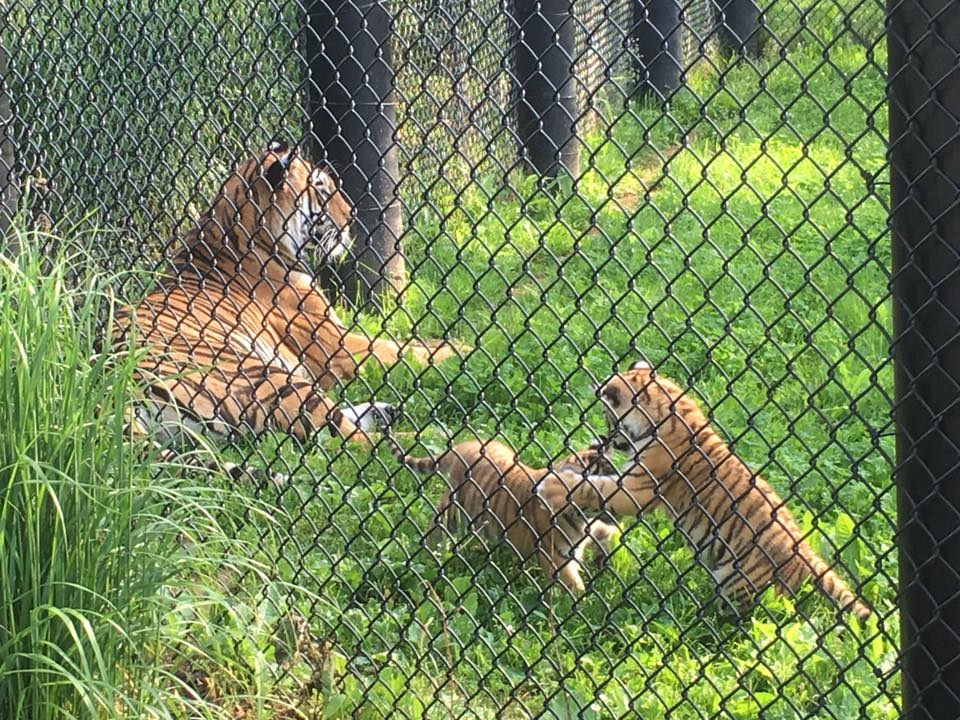 More Amur Tiger Cubs At The Magnetic Hill Zoo?
