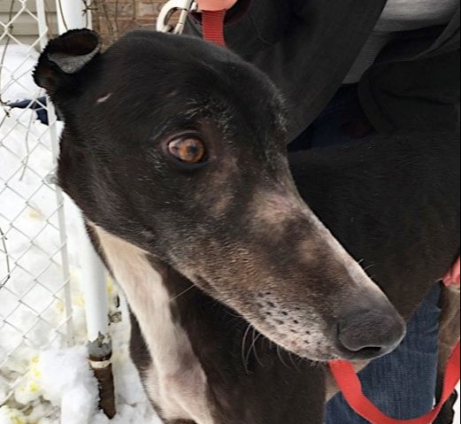 MGAP Says With Greyhound Racetrack Closures, Thousands Of Dogs Will Need Homes