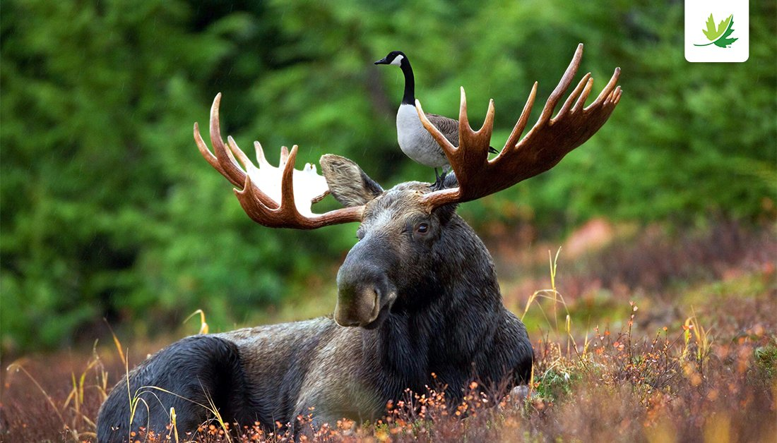 'Goose On A Moose' Grabs Social Media Attention