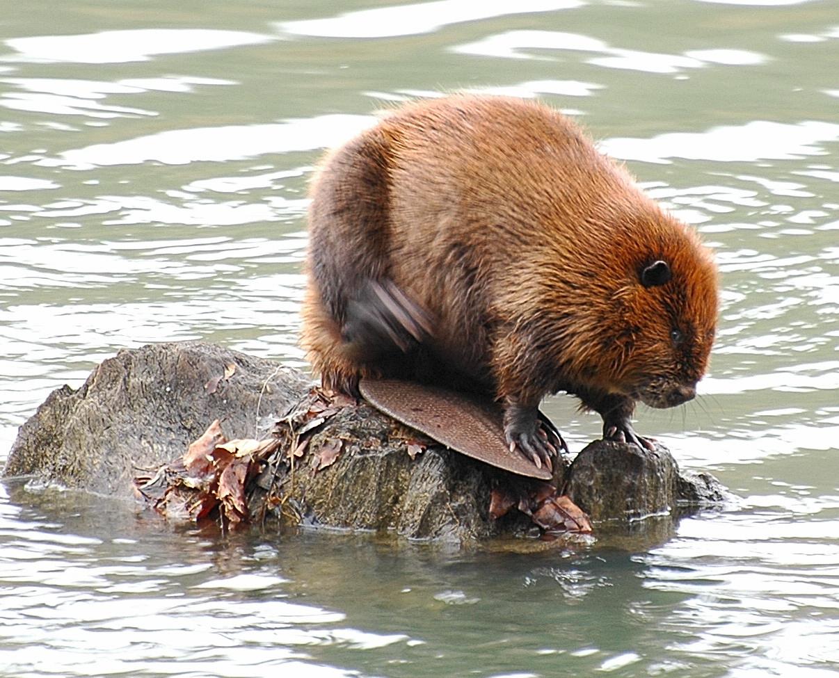 Beaver Dam In Mukwonago Putting Rivers At Risk