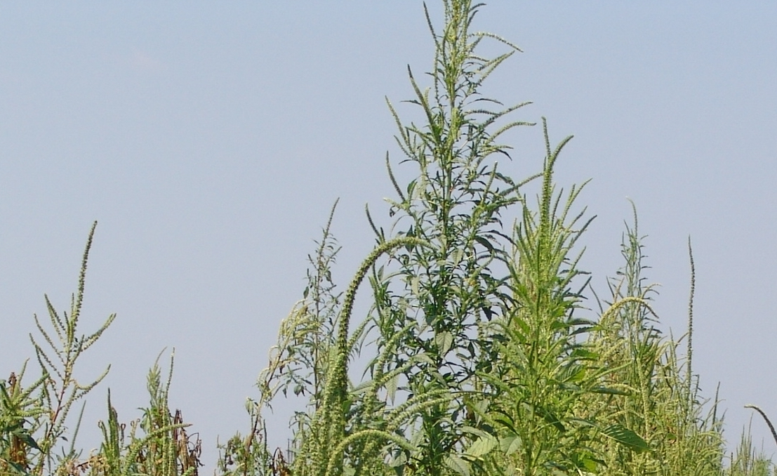 DATCP Cautions: Keep An Eye Out for Palmer Amaranth