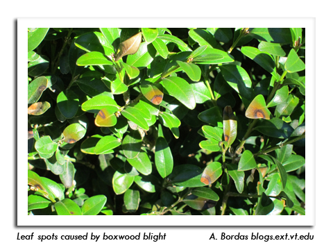 Boxwood Blight Found In Wisconsin