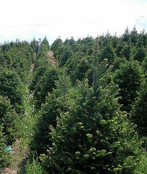 Christmas Tree Farm: Dozens Of Trees Stolen