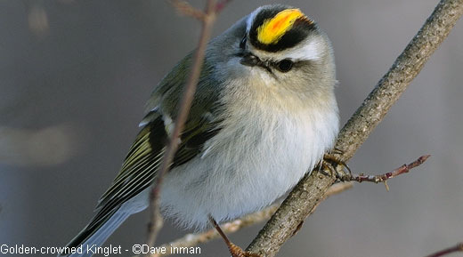 Ripples from the Dunes: Kinglet Migration