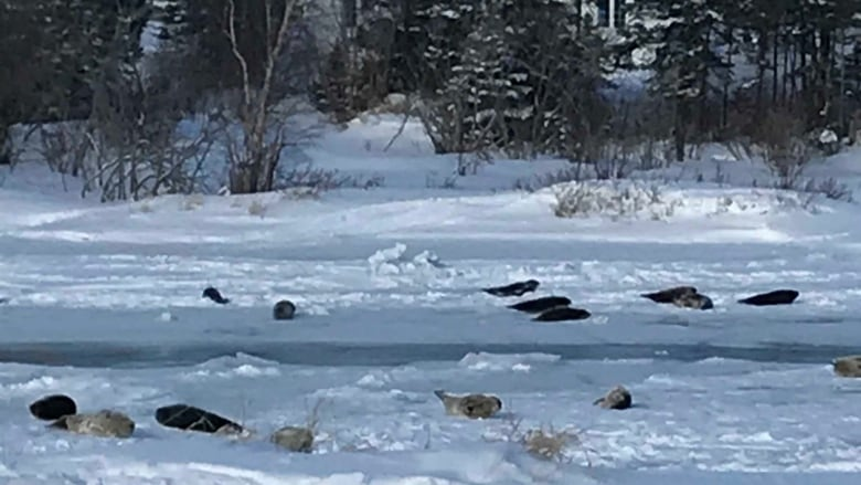 Newfoundland Town Dealing With Seals