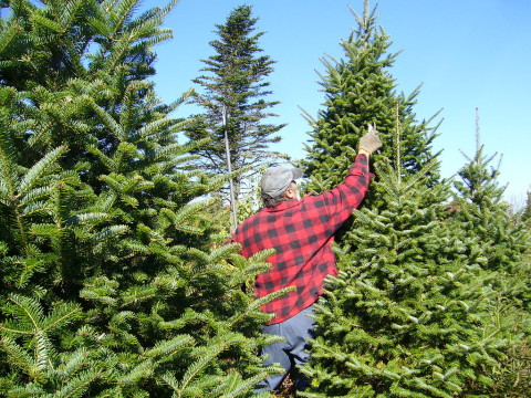 City seeking Spruce Trees for Christmas displays