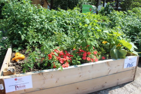 United Way community garden in full bloom
