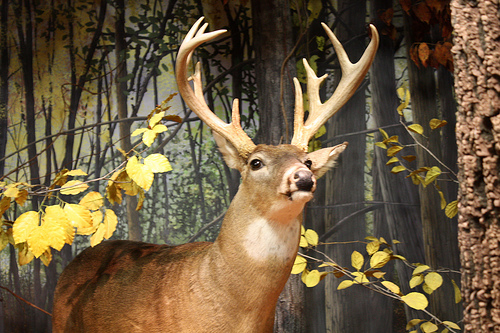 White-Tailed Deer hunt to begin