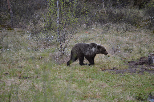 Bear sighting in Warkworth prompts safety tips from police
