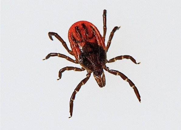 Lyme disease is closer to London than we think
