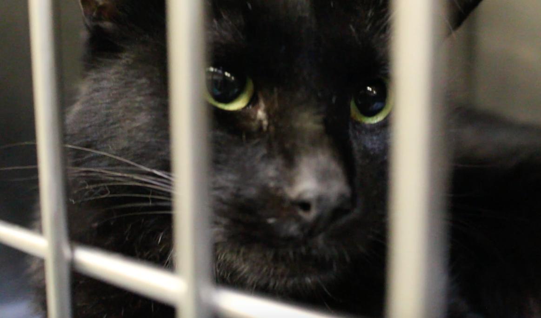 Black Cat Adoption Month