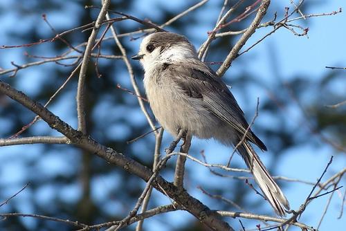 Meet the national canadian bird