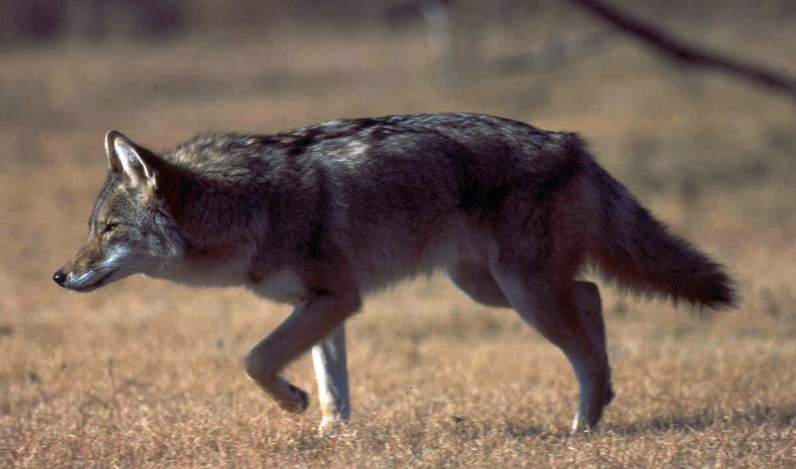 Do you how to prevent or manage conflict with coyotes?