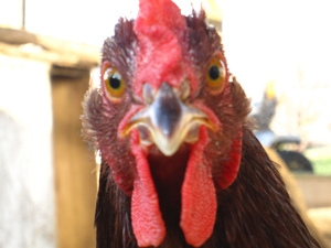Poultry Playing Patriotic Piano Piece (Video)