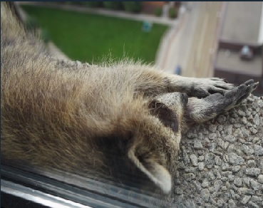 A Raccoon Climbed 23 Stories Up A Building In St. Paul. The Whole World Watched In Wonder