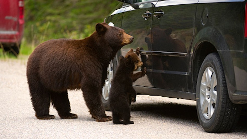 Bears Break into Car, Eat 49 Candy Bars