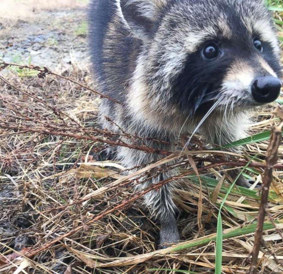 Raccoons Suspected of Having Rabies Were Actually Just Drunk