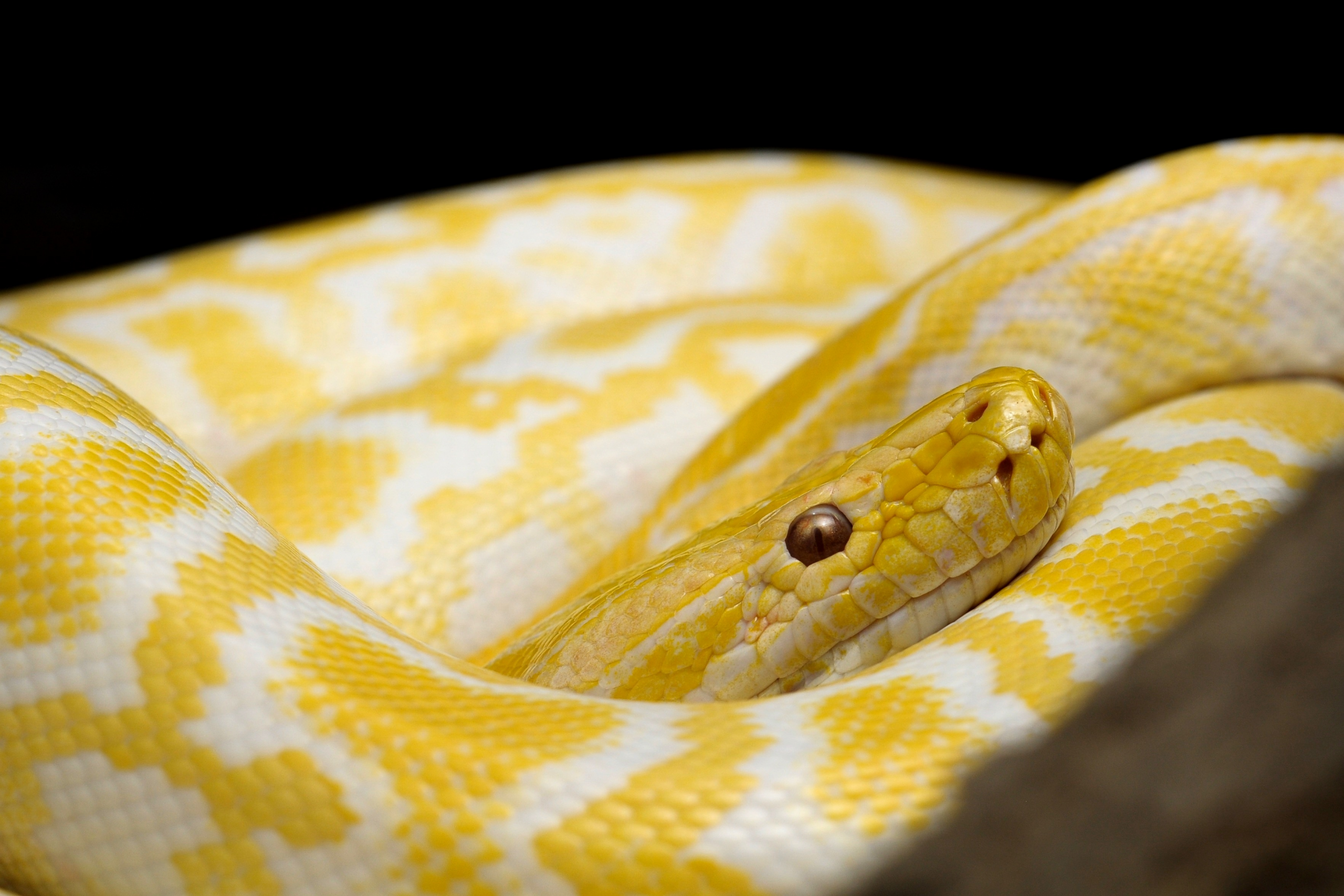 Giant Albino Snake Discovered Among Goodwill Donations