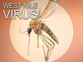 McLean County Mosquitoes Test Positive For West Nile