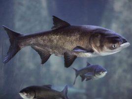 Illinois says 'no' to Michigan's carp money