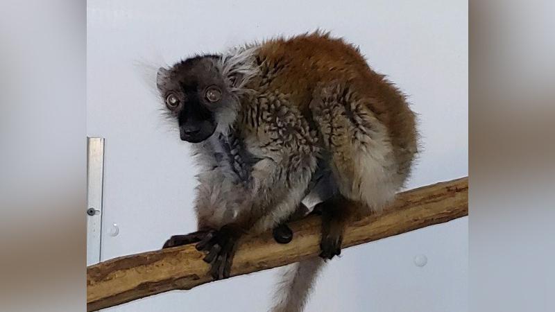 38-Year-Old Black Lemur 'Blossom' Passes At Henson Robinson Zoo