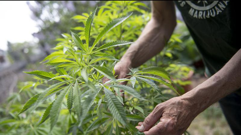P A lawyers react to free cannabis pardon process
