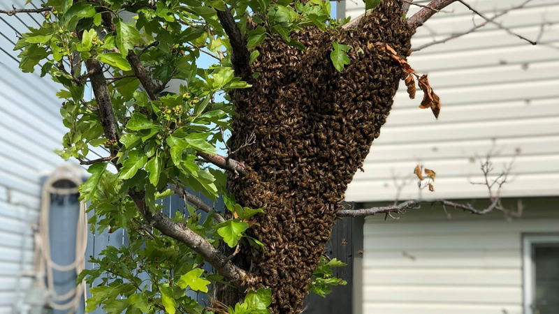 Bee swarm scares, but shines light on importance of our apian