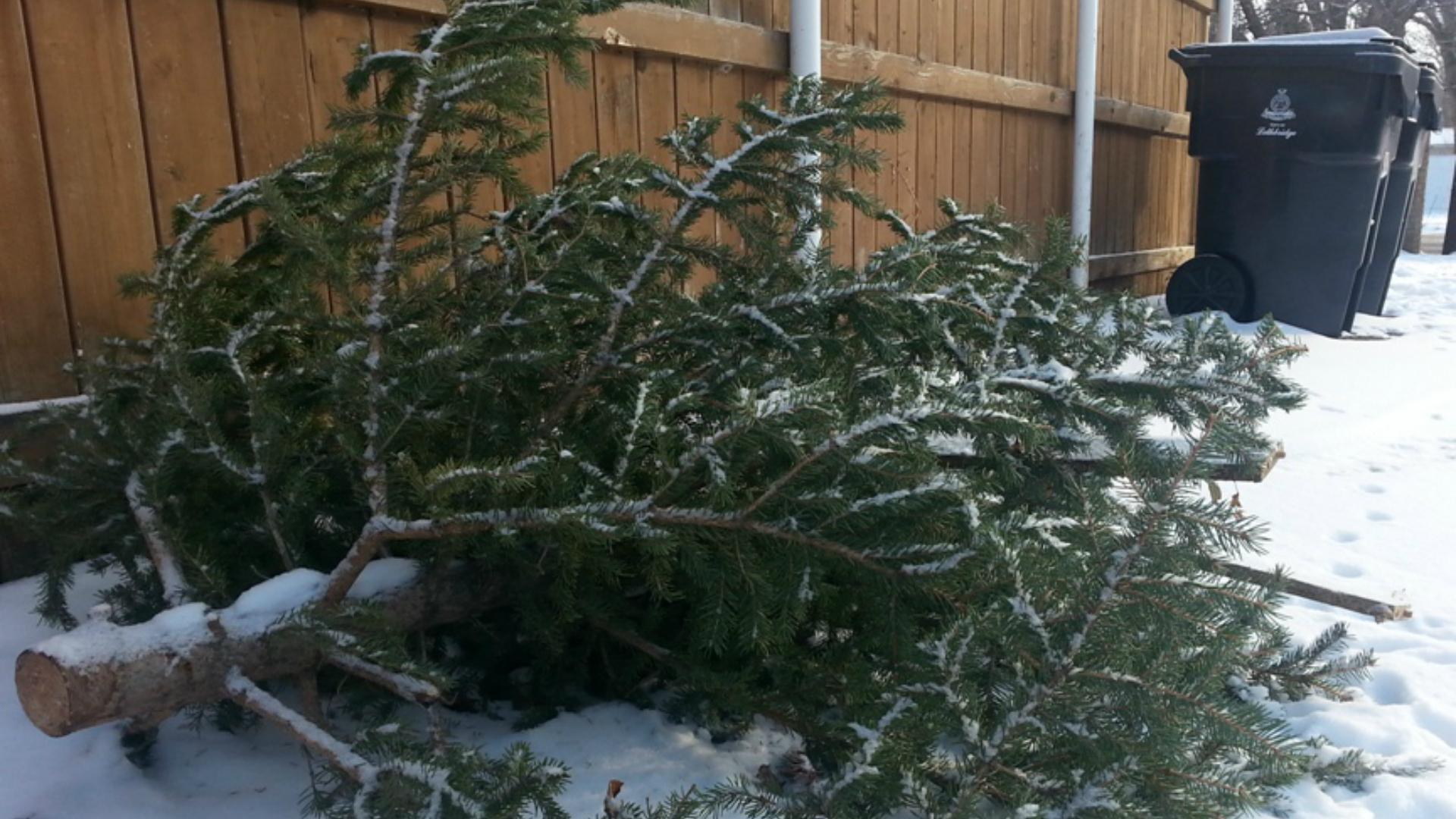 Christmas Tree Pick Up.Christmas Tree Pickup Set For Saturday Lethbridgenewsnow