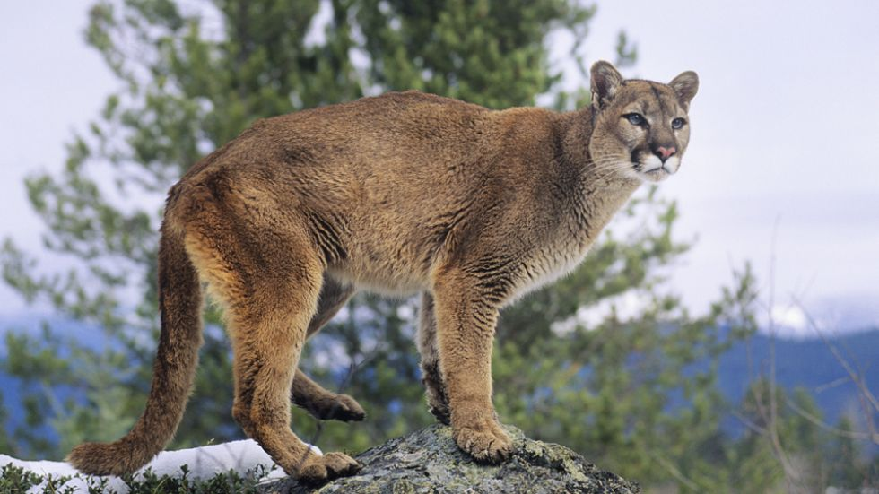 Cougar young and How Does