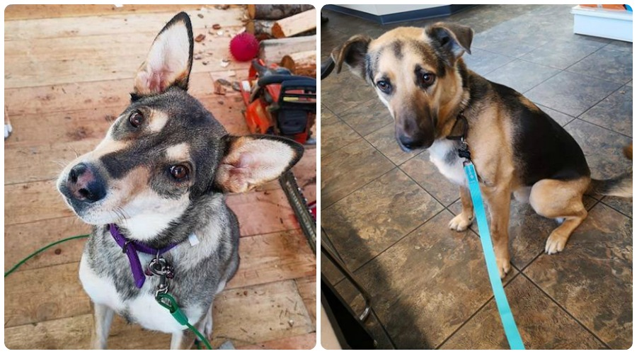UPDATE: Dogs feared stolen found, returned to rescue society