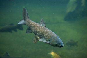 Fish Farm Charged For Selling Asian Carp