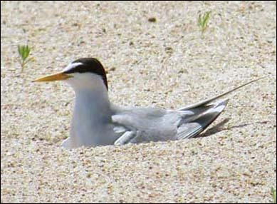 Least Tern to be removed from endangered species list