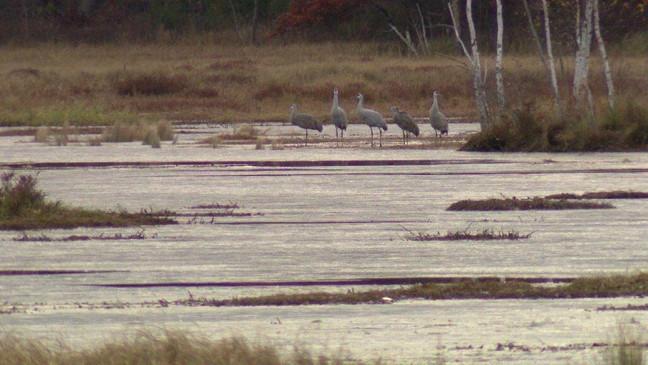 Sandhill Cranes Prepare for Winter Migration