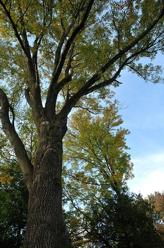 Champaign Ash Trees Infested