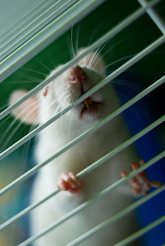Officials Investigating Illness Linked to Rats in Illinois, Wisconsin