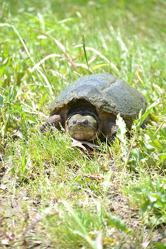 Alligator Snapping Turtle Returns To Illinois