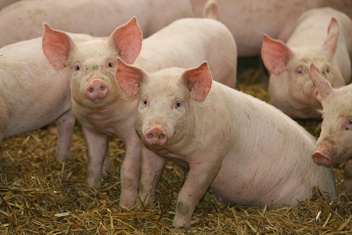 Effingham Family Must Get Rid Of Pet Pigs