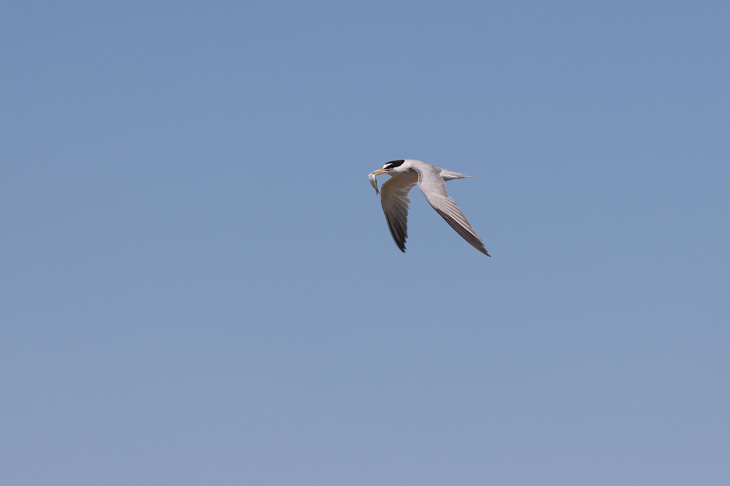 Endangered South Dakota shore bird takes a 'tern' for the better