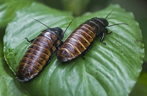 Name a Cockroach after Your Ex or Your Special Someone For Valentine's Day