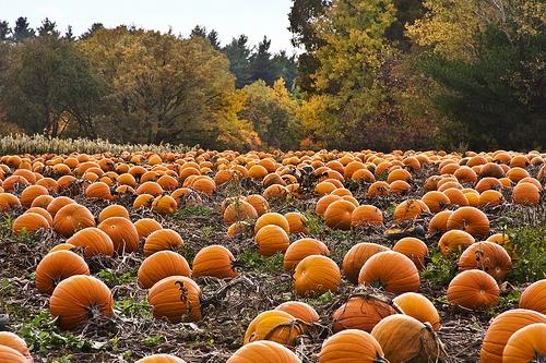 Illinois Pumpkin Crop Looking Good