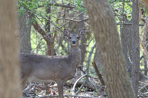 IDNR Warns of Deer Disease