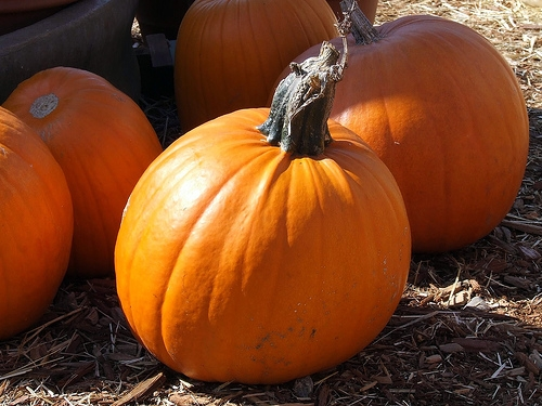 Illinois Pumpkin Crop Recovering