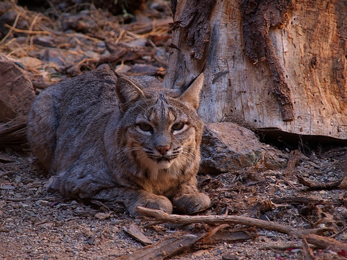 Demand For Illinois Bobcat Hunting Permits Exceeds Supply