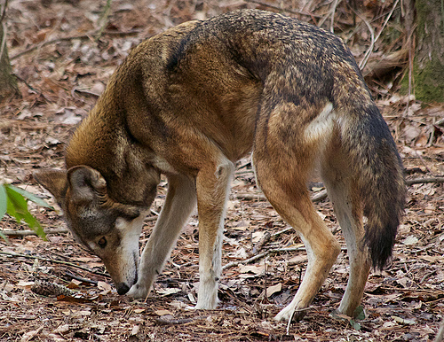 Red Wolves Born At Miller Park Zoo