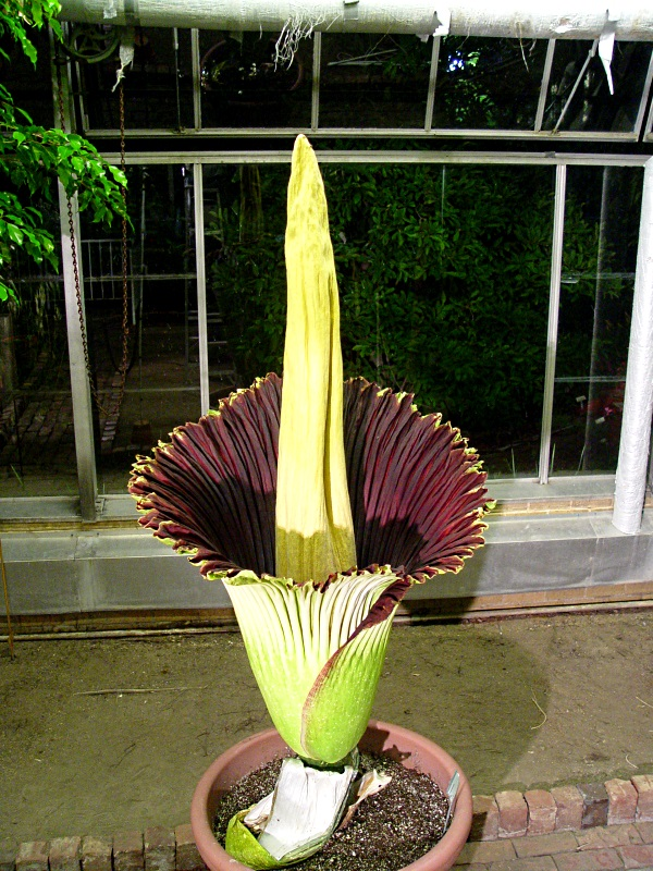 EIU's Corpse Flower expected to bloom in late June/early July