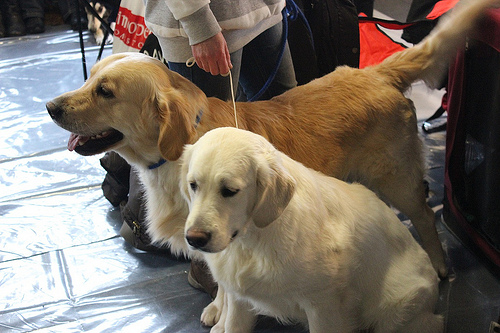 Hundreds Of Golden Retrievers Celebrate 150th Anniversary